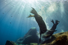 Male sea lions fighting underwater. Californian Male sea lion seal while fighting for territory underwater Stock Images
