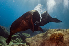 Male sea lions fighting underwater Royalty Free Stock Images