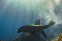 Male sea lions fighting underwater Stock Images