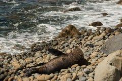 Male seal basking on rocks. Male fur seal basking on rocks Stock Photos