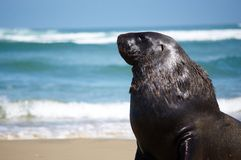 Male seal lion. A close-up of a male seal lion on Surat Bay, New Zealand Stock Photos