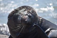 Male seal relaxing Stock Images