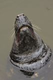 The male seal showing huge teeth, Lithuania Stock Photography