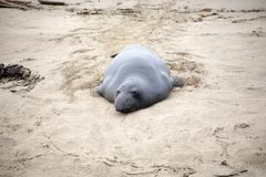 Male sealion at the beach Royalty Free Stock Images