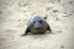Male Sealion at the Beach in California Stock Image