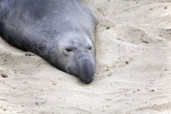 Male Sealion at the Beach in California Stock Images