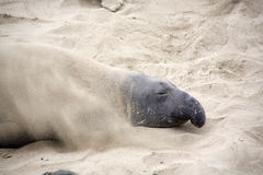 Male sealion at the beach Royalty Free Stock Photos