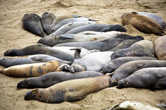Male Sealions at the Beach in California Royalty Free Stock Photo