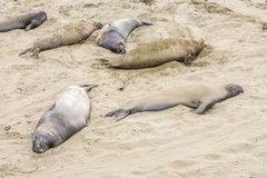 Male Sealions relax at the beach. Of San Simeon, California Royalty Free Stock Photo