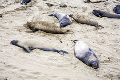 Male Sealions relax at the beach Stock Photos