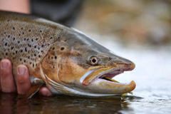 Male Searun Browntrout Closeup Royalty Free Stock Photography