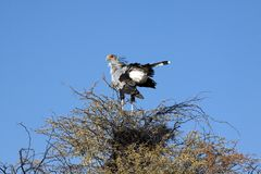 A male secretary bird Stock Photos