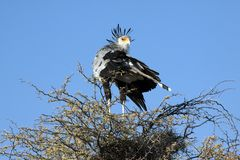 A male secretary bird Royalty Free Stock Photography