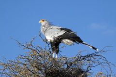 A male secretary bird. Sagittarius serpentarius, roosting in a camel thorn tree in the Kgalagadi Transfrontier National Park in South Africa and Botswana. It Royalty Free Stock Photography