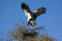 A male secretary bird Royalty Free Stock Images