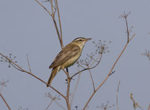 Male Sedge Warbler (Acrocephalus schoenobaenus). Sedge Warbler (Acrocephalus schoenobaenus) sitting on a branch Royalty Free Stock Photo