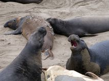 Male Seelion at a beach Royalty Free Stock Photos