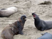 Male Seelion at a beach. Male Seelion at a meeting place, beach of San Simeon, California Stock Photos