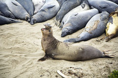 Male Seelion at the beach. Male Seelion at a meeting place, beach of San Simeon, California Stock Photography