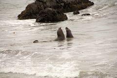 Male Seelion at a beach. Male Seelion at a meeting place, beach of San Simeon, California Stock Images