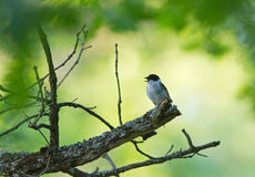 A male Semi-collared Flycatcher on a Oak. A male Semi-collared Flycatcher perched on an Oak tree in Bulgaria Stock Images