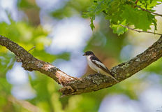 A male Semi-collared Flycatcher on a Oak. A male Semi-collared Flycatcher perched on an Oak tree in Bulgaria Stock Photos