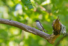 A male Semi-collared Flycatcher on a Oak. A male Semi-collared Flycatcher perched on an Oak tree in Bulgaria Royalty Free Stock Images