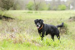 Older Black Labrador Retreiver dog with gray muzzle and hunter orange collar. Male senior Black lab with gray muzzle named Gavin. Outdoors on leash with orange Royalty Free Stock Photography