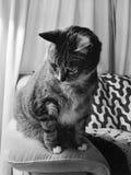 Black and White senior tabby cat. Male senior diabetic tabby cat resting on the royalty free stock image