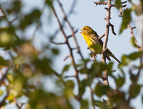 A male Serin challenger. A male Serin (Serinus serinus) sings vigorously defending it´s territory from any intruder Royalty Free Stock Photography