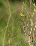 Male Serin on dry grass. A male Serin (Serinus serinus) perches on some dry riverine bushes Royalty Free Stock Photo