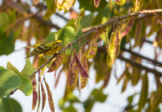 Male Serin on Judas Tree Royalty Free Stock Image
