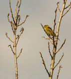 Male Serin singing. A male european Serin (Serinus serinus) proclaims the ownership of it's territory by singing strongly perched high on a tree at the nature Royalty Free Stock Image