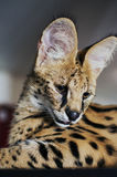 Male serval cat leptailurus serval looks down. 5 month old male pet serval Chappie sitting on top of brown cupboard staring away from the camera looking down Royalty Free Stock Photos