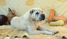 Male shar-pei with autumn backround Stock Photo