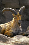 Male sheep. Big horned barbary sheep Stock Image