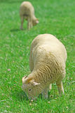Male sheep. Is picking and eating grass Stock Photo