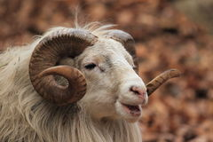 Male sheep. The detail of adult male sheep royalty free stock image