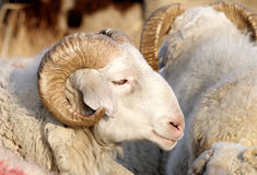 Male sheep. The detail of adult male sheep Stock Photography