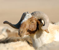 Male Sheep. At an afternoon lighting Stock Photos