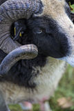Male sheep close up of horns. Male sheep grazing on the meadow Royalty Free Stock Images