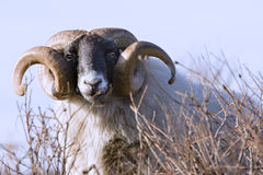 Male sheep with curled hornes Stock Photos