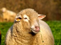 Male Sheep face. Close up to a male sheep face with green background Royalty Free Stock Photo