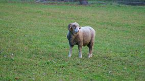 Male sheep on a farm. In autumn Stock Photo