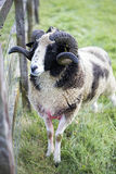 Male sheep. Grazing on the meadow Stock Photography
