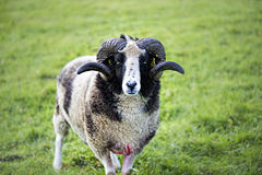 Male sheep Royalty Free Stock Photos