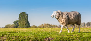 Male sheep looking around. Ram on a Dutch dike looking for female sheep Royalty Free Stock Photos