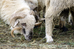 Male sheep. In a sheepfold in Roamnia Stock Image