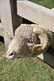 A male sheep waiting his lunch time with smiling face in a farm on a nice day. A male sheep waiting his lunch time with smiling face in a farm on a nice day at Stock Image