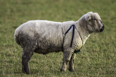 Male Sheep wearing a Breeding Harness. A Male Sheep wearing a Breeding Harness Royalty Free Stock Image